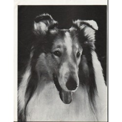 1964 The saga of Lassie Article ~ by Vernon Scott